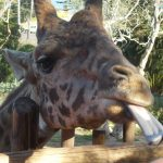 Santa Barbara Zoo Giraffes: A Lesson In 'Giraffe Marketing'