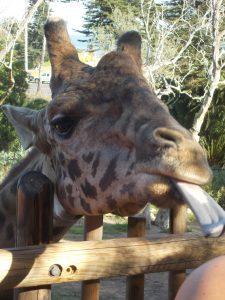 Santa Barbara Zoo Giraffe